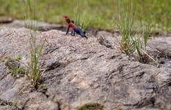Rote vorangegangene Felsendickzungeneidechse, die auf dem Felsen anzeigt dunkelblaues Endstück sitzt lizenzfreies stockfoto