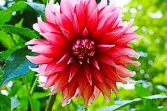 Rote Vorderansicht 2 der Dahlienblume in voller Blüte mit einem Wassertröpfchenfallen stockfotografie