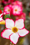 Rote Wüsten-Blume, Adenium Stockfotografie