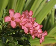 Rote Wüsten-Blume, Adenium obesum Stockfoto