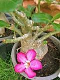Rote Wüstenblume, das vom Baum fallen Lizenzfreie Stockfotografie