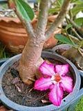 Rote Wüstenblume, das vom Baum fallen Stockfotos
