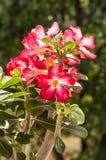Rote Wüstenrose Stockbilder