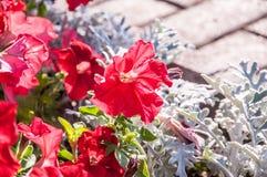 Rote Wüstenrose Stockbild