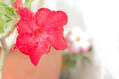 Rote Wüstenrose Blume Lizenzfreie Stockfotografie