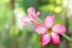 Rote Wüstenrose-Blume, Adenium obesum, Impala-Lilie Lizenzfreie Stockbilder
