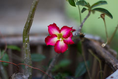 Rote Wüstenrose- oder Impalalilie Adeniumblume Stockfoto