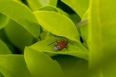 Rote Wanzen mit Flügeln in einigen Blättern Stockfoto