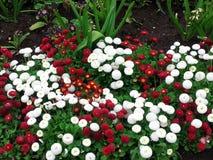 Rote weiße Blume n Lizenzfreie Stockfotografie