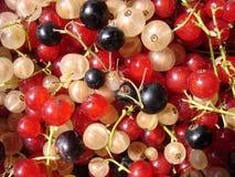 Rote, weiße, Schwarze Johannisbeere Lizenzfreie Stockbilder