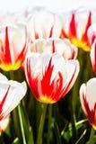 Rote weiße Tulpe Stockbild