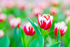 Rote weiße Tulpen lizenzfreies stockbild