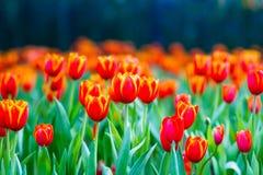 Rote weiße Tulpen lizenzfreie stockfotografie