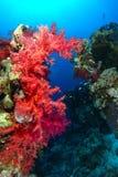 Rote weiche Koralle über dem korallenroten Garten in nationalem PA Ras Mohammeds stockbild