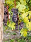 Rote Weinreben auf dem Weinberg, vertikal Stockfotos