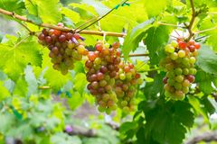 Rote Weinreben im Garten Lizenzfreie Stockfotografie