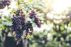 Rote Weinreben im Weinberg stockfotografie