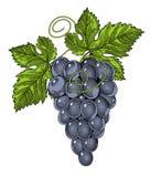 Rote Weinreben in Weinlese gravierter Art Lizenzfreie Stockbilder