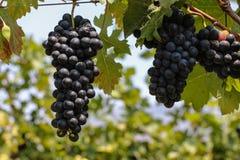 Rote Weintraube hängend am Weinberg Stockfotografie
