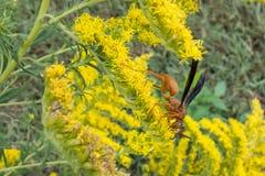 Rote Wespe unter den goldenen Stangen Lizenzfreies Stockfoto