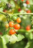 Rote wilde Beeren Lizenzfreies Stockfoto