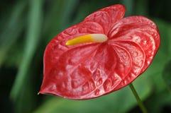 Rote wilde Blume Lizenzfreies Stockfoto