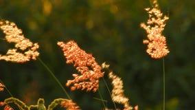 Rote wilde Blume Bewegungen im Wind - Video HD stock video footage