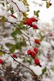 Rote wilde Hagebutten unter dem Schnee Stockbilder
