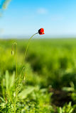 Rote wilde Mohnblume Stockbild