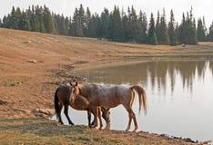 Rote wilde Pferde Roan Stallions und des Bucht-Hengstes am waterhole im Pryor-Gebirgswilden Pferd erstrecken sich in Montana USA Stockbild