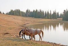 Rote wilde Pferde Roan Stallions und des Bucht-Hengstes am waterhole im Pryor-Gebirgswilden Pferd erstrecken sich in Montana USA Lizenzfreies Stockfoto