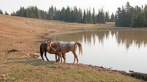Rote wilde Pferde Roan Stallions und des Bucht-Hengstes am waterhole im Pryor-Gebirgswilden Pferd erstrecken sich in Montana USA Stockfotos