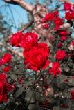Rote wilde Rosen Stockbilder