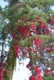Rote wilde Traube Lizenzfreies Stockbild