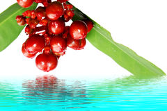 Rote Wildfrüchte lokalisiert auf Weiß Stockbilder
