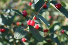 Rote wolfberry Beeren reiften auf der Niederlassung des Busches Lizenzfreie Stockfotos