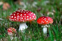 Rote Wulstling muscaria Pilze Stockbilder