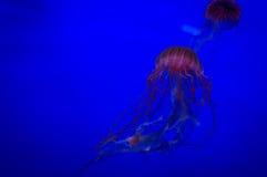 Rote yellyfish im blauen Ozean oder im Aquarium Lizenzfreie Stockfotos