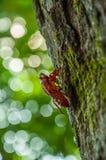Rote Zikade stockbilder