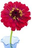 Rote Zinnia-Blume auf weißem Hintergrund Lizenzfreie Stockfotografie