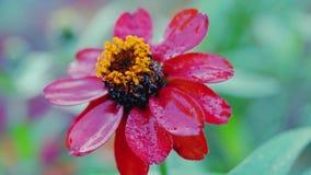 Rote Zinnia-Blume lokalisiert auf grünem Hintergrund Lizenzfreies Stockbild