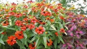 Rote Zinnia-Blume lokalisiert auf grünem Hintergrund Lizenzfreies Stockfoto