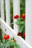 Rote Zinnias und weißer Zaun Stockbilder