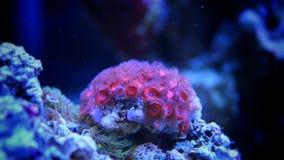 Rote zoas korallenrot im Riffbehälter Lizenzfreie Stockfotos