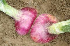 Rote Zwiebel auf dem Gartenbett Lizenzfreies Stockfoto