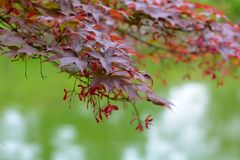 Roter acer Stock Images