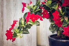 Roter Adenium, der in einem Garten wächst Lizenzfreies Stockbild