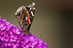 Roter Admiral Butterfly Stockfoto