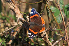 Roter Admiral Butterfly Stockfotografie