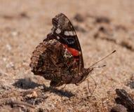 Roter Admiral Butterfly Lizenzfreie Stockfotografie